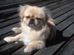 Pet Honoring dog 8