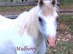 Mulberry Pet Honoring copy