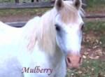 Mulberry Pet Honoring copy