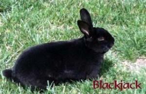 Pet Honoring Blackjack copy