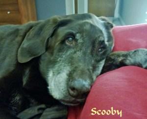 Pet Honoring Scooby